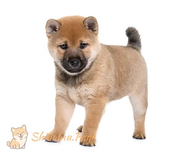 alimentación del cachorro de shiba inu