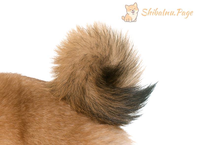 cola del shiba inu