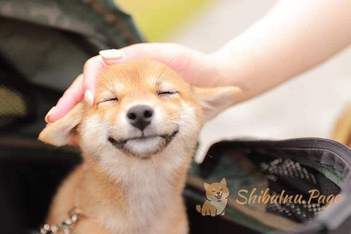 comprar shiba inu