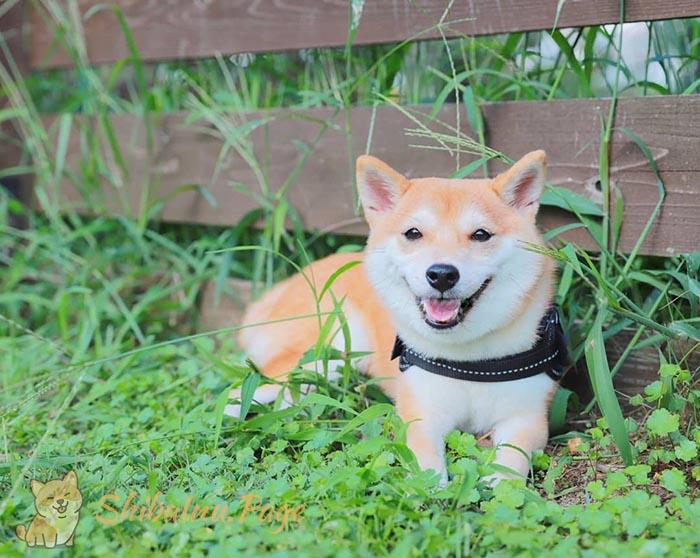 adopción de un shiba inu