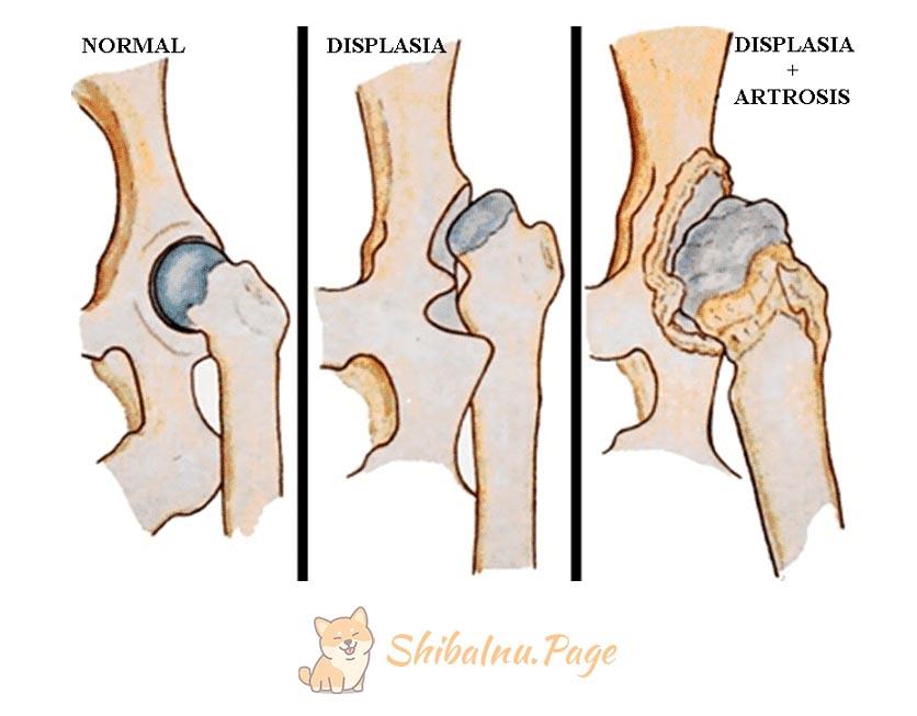 displasia de cadera en shiba inu