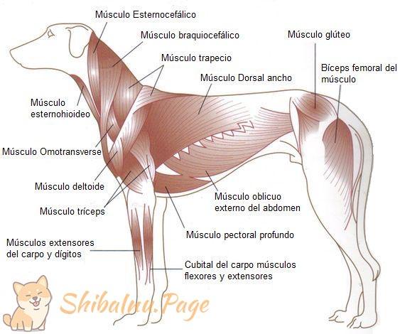 músculos de un shiba inu