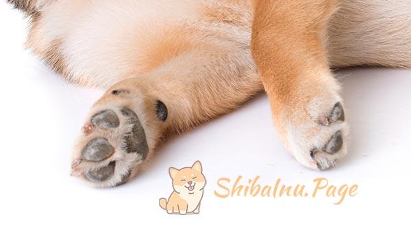 patas del shiba inu