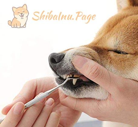 raspado de dientes del shiba inu