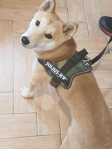 Arnés Julius K9 para perro Shiba Inu
