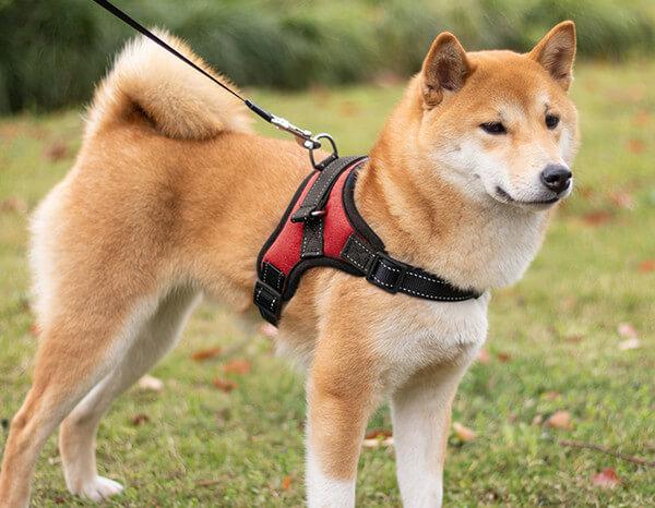 Arnés para perro Shiba
