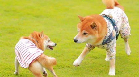 comportamiento del shiba con otros perros