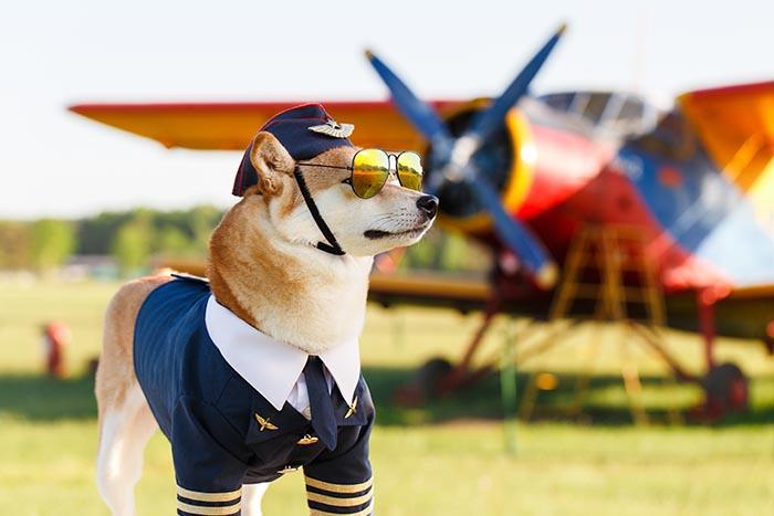 curiosidades de los perros shiba
