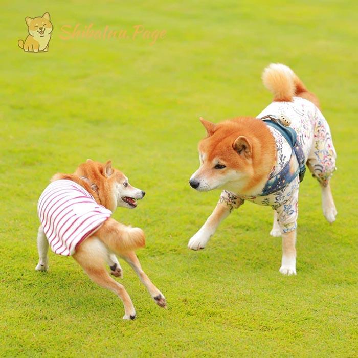 socialicación-del-shiba-con-otros-perros